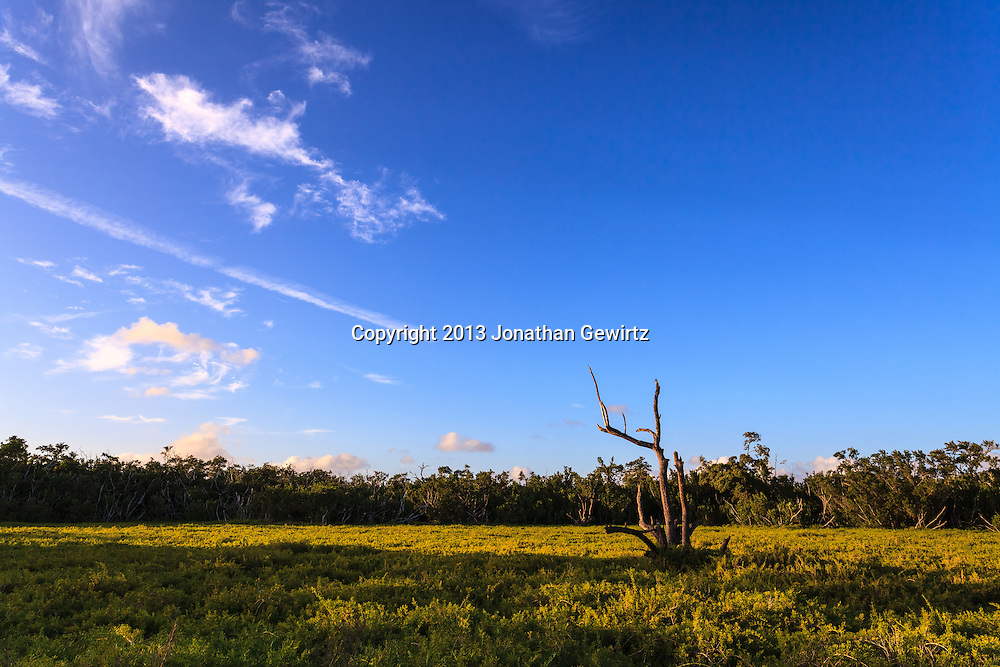 A barren tree stands out from thick green vegetation in a field in the Flamingo section of Everglades National Park, Florida.<br />