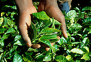 KENYA, HIGHLANDS a farmworker picking tea leaves on a tea plantation near Maua in the Kenyan highlands