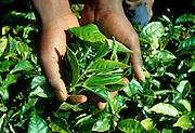KENYA, HIGHLANDS a farmworker picking tea leaves on a tea plantation near Maua in the Kenyan highlands