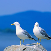 Two ring-billed gulls (Larus delawarensis) standing on a rock in the middle of Mooosehead lake. Greenville, Maine
