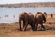 A herd of African Bush Elephants (Loxodonta africana) Photographed at Lake Kariba National Park, Zimbabwe