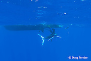 free swimming striped marlin, Kajikia audax, investigates a teaser lure behind the charter boat Reel Addiction, Vava'u, Kingdom of Tonga, South Pacific