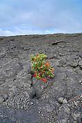 Ohia, Lehua, Metrosideros polymorpha, Flower, Hawaii Volcanoes National Park, Kilauea Volcano, Big Island of Hawaii