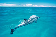 Spinner dolphin, Midway Atoll National Wildlife Refuge, Hawaii, USA