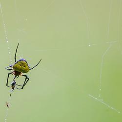 """""""Aranha (Aracnídeo) fotografado em Vargem Alta, no Espírito Santo -  Sudeste do Brasil. Bioma Mata Atlântica. Registro feito em 2018.<br /> ⠀<br /> ⠀<br /> <br /> <br /> <br /> <br /> ENGLISH: Spider photographed in Vargem Alta, Espírito Santo - Southeast of Brazil. Atlantic Forest Biome. Picture made in 2018."""""""