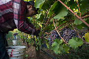Alexana estate vineyard pinot gris harvest, Dundee Hills, Willamette Valley, Oregon