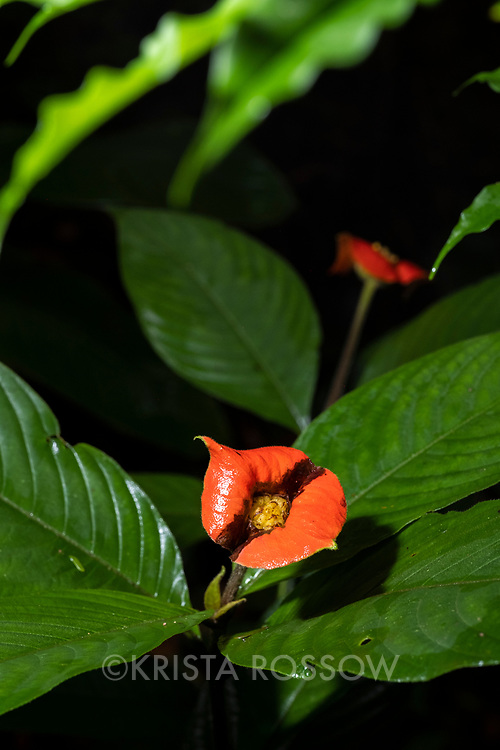 Red hot lips flowers growing in the rainforest at Casual Trail near Nauta in the Peruvian Amazon.