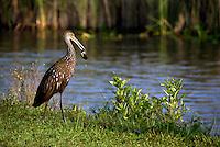 Limpkin in Everglades National Park, Florida, USA