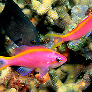 Purple Anthias inhabit reefs. Photographed taken Phillipines.