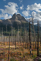 Burned trees along trail to Sanit Mary Falls, Glacier National Park Montana