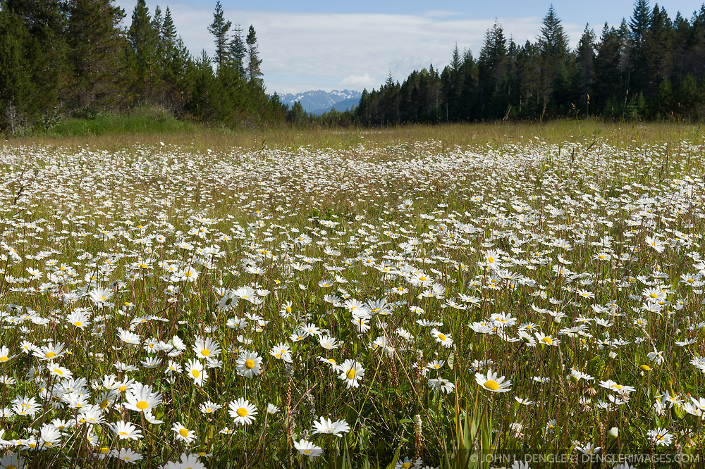 Daisies envelope a meadow next to the Glacier Bay Country Inn located in Gustavus, Alaska. The southeast Alaska town of Gustavus is located next to Glacier Bay National Park.