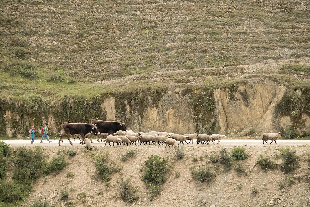 South America,Peru, sheep trek in the andes