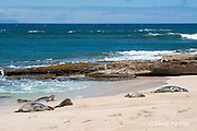 two seals emerge from the water to join a group of Hawaiian monk seals, Monachus schauinslandi, Critically Endangered endemic species, resting on beach at west end of Molokai, Hawaii ( Central Pacific Ocean )