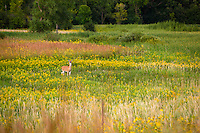 Yellow wildflowers surround a curious doe (Odocoileus virginianus)  in a Minnesota Landscape.
