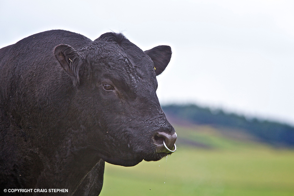 Aberdeen Angus cattle in pasture field against a background of out of focus hills in Perthshire, Scotland, UK