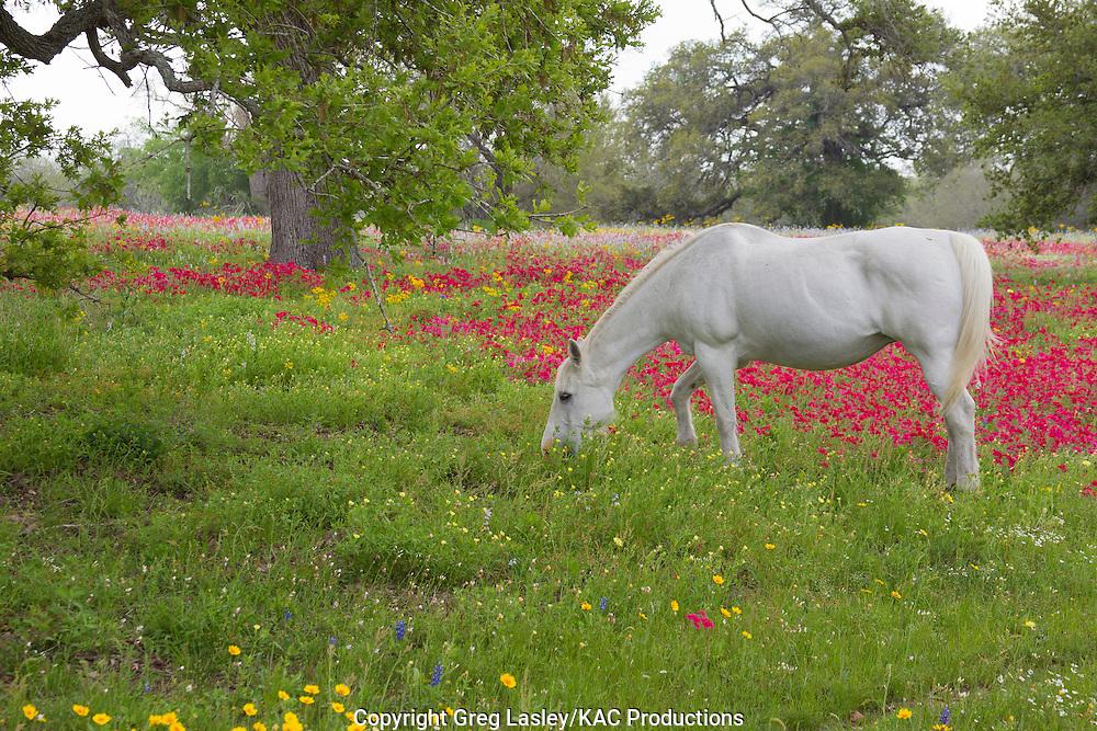 Horse feeding in wildflowers<br /> near Westhoff, <br /> De Witt Co., Texas<br /> 4 April 2010