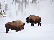 A pair of bison exchange a glance as they enjoy the warmth of Grand Prismatic Spring on a cold winter morning in Yellowstone National Park.