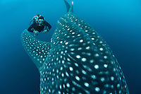 Diver and Whale Shark, Cenderawasih Bay..Shot in Indonesia