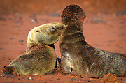 Pups (Sea Lions), Red Beach