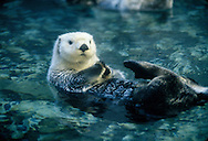 The sea otter (Enhydra lutris) is a marine mammal native to the coasts of the northern and eastern North Pacific Ocean.