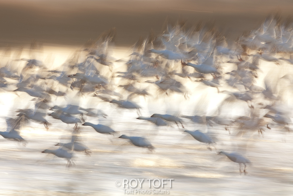 Snow Goose (Anser caerulescens) in flight with the motion of their wings blurred, Bosque del Apache National Wildlife Refuge, New Mexico