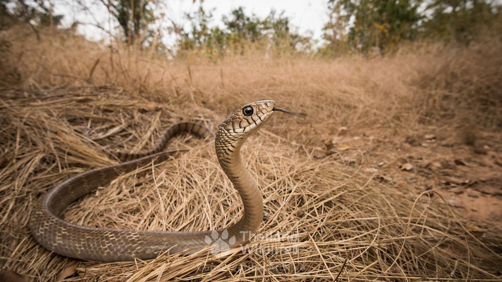 Oriental Rat Snake (Ptyas mucosa) in Sung Noen, Nakhon Ratchasima, Thailand