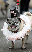 Peizhi is dressed as a Voodoo Doughnut the Parade of Pugs. Voodoo Doughnuts are a local brand of pastries popular in Portland. Peizhi was awarded first place for his costume.