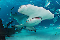 Great Hammerhead Shark with large fishing hook deeply embedded in its jaw<br /> <br /> Shot in Bimini, Bahamas