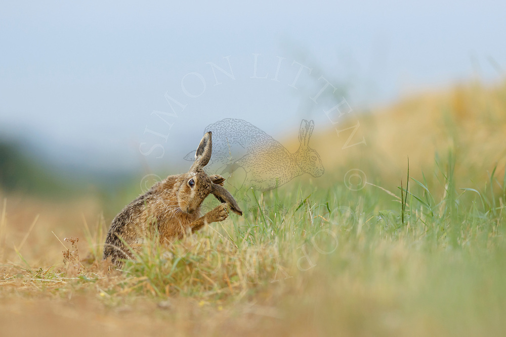 European Hare (Lepus europaeus) adult on farmland track cleaning ears, South Norfolk, UK. July.