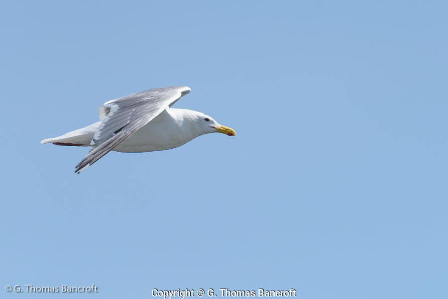 A glaucous-winged gull flies by showing its wing.