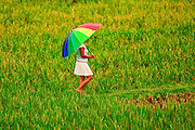 Apr. 21 - UBUD, BALI, INDONESIA: A woman walks through a rice paddy in the rain in Ubud, Bali.  Photo by Jack Kurtz/ZUMA Press