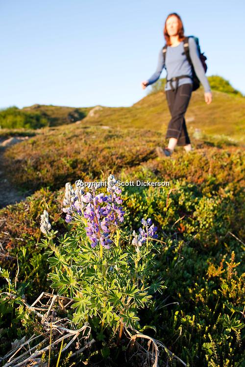 Stephanie Haynes hiking past lupine flowers on the Alpine Ridge trail in Kachemak Bay State Park, near Homer, Alaska.