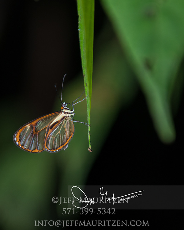 A Greta oto or glasswing butterfly hangs from a plant leaf.