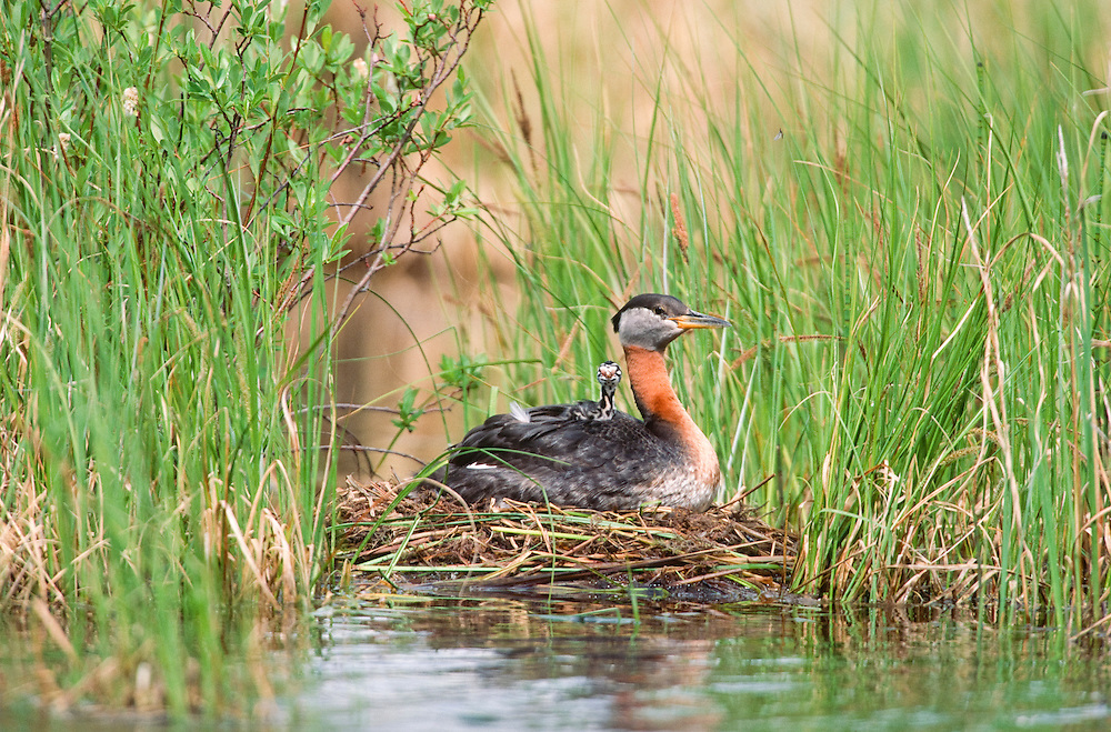 Red necked grebe with chicks on nest in marsh.