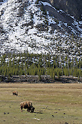 Bull Bison, Herd, Bison Herd, Bison Calf, Baby bison, Calf, Baby, Cow Bison, Female Bison, Bison, Buffalo, Yellowstone National Park, Yellowstone, Wyoming