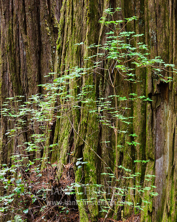 Delicate vegetation grows against the ancient bark of a giant redwood