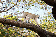 A male vervet monkey (Chlorocebus pygerythrus) traversing a tree limb in Matobo National Park, part of the Motopos Hills area in Zimbabwe. The park is an U.N. UNESCO World Hertiage Site. © Michael Durham / www.DurmPhoto.com