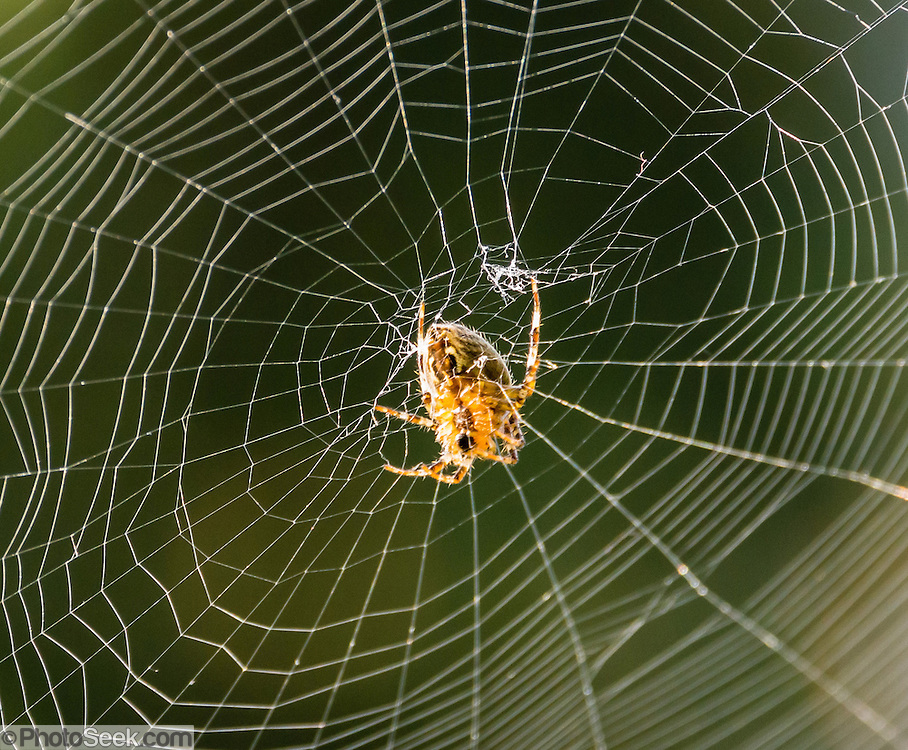 A spider waits for prey in the center of its web. Seattle, Washington, USA. Spiders have eight legs and are not insects. Spiders (order Araneae, class Arachnida) are air-breathing arthropods that have chelicerae, grasping mouthparts with fangs that inject venom. Unlike spiders, insects have six legs and a pair of antennae.