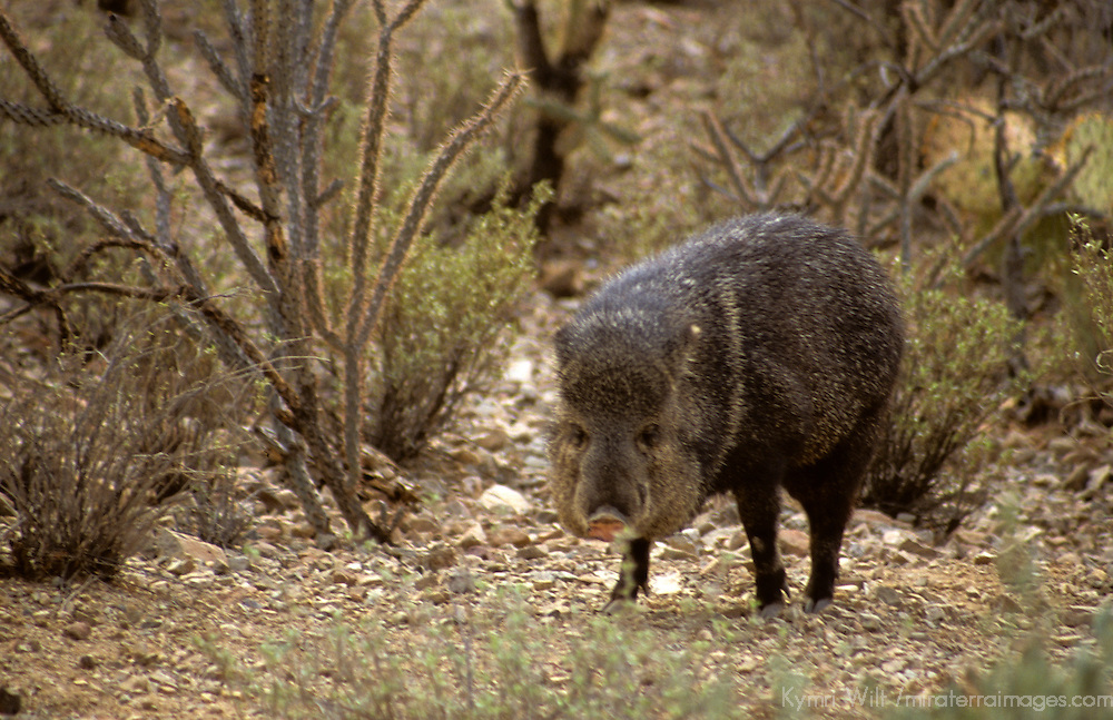 North America, Americas, USA, United States, Arizona. Arizona-Sonora Desert Museum, Collared Peccary.