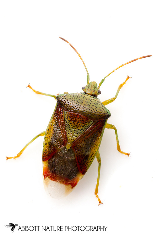 Birch Shield Bug (Elasmostethus interstinctus)<br /> ALASKA: Fairbanks North Star Borough<br /> Park along Chena River<br /> 5-July-2012  64.792174, -147.194800<br /> J.C. Abbott #2616 &amp; K.K. Abbott