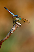 Dragon Fly perched on branch in lake bed Shelby Farms Patriot Lake Memphis TN.
