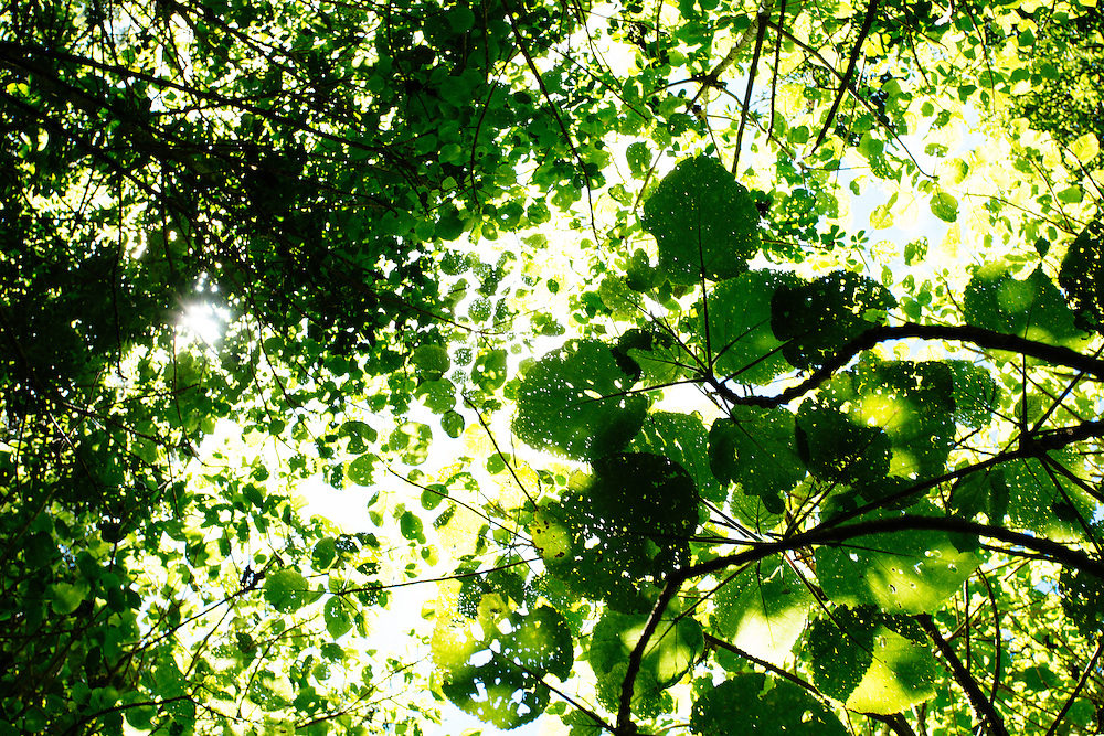 A thicket of young Giant Stinging Trees form a lethal canopy of leaves.