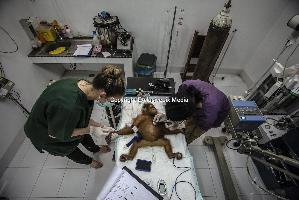 Nov. 23, 2015 - Batu Mbelin, North Sumatra, Indonesia - <br /> <br /> Baby Orangutans Recovered from Wildlife Traffickers<br /> <br /> Two medics conduct medical checkup for a baby orangutan at Sumatran Orangutan Conservation rehabilitation center, one of three baby Sumatran orangutans that were recovered recently after police arrested wildlife traffickers who smuggled them out of Aceh province. <br /> &copy;Tanto H/Exclusivepix Media