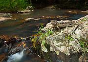 Eastern water Dragon, adult male, Jumrum creek, Kuranda, North Queensland