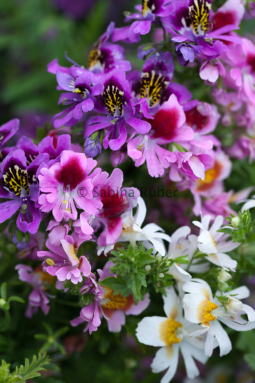 Schizanthus x wisetonensis - Angel Wings Mixed - butterfly flower