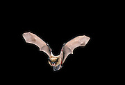 A Big Brown Bat (Eptesicus fuscus) flying at night in Eastern Oregon. Applegate area.