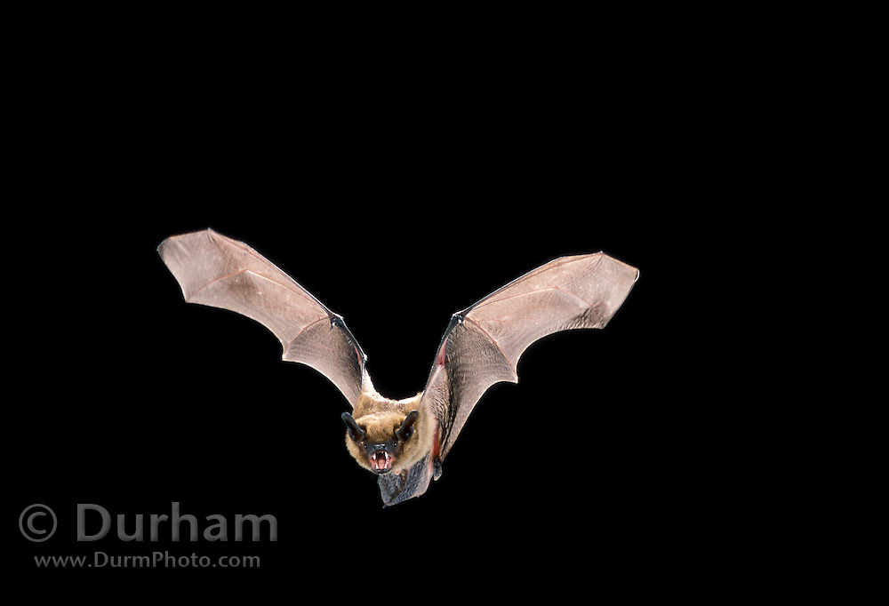A Big Brown Bat (Eptesicus fuscus) flying at night in Eastern Oregon. Applegate area.