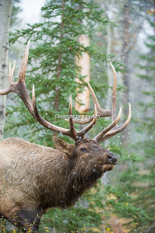 bull elk in fir aspen forest snowing