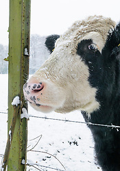 Blaarkop koe, Bos domesticus