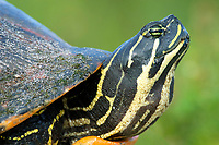 Florida Redbelly Turtle (Photo: Peter Llewellyn)